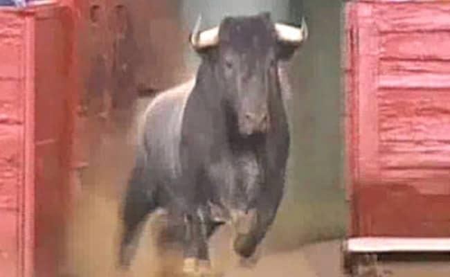 Bull Gores Argentine Tourist To Death In Jaipur