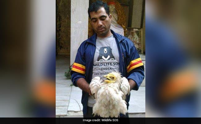 Endangered Vulture With Injured Wing Rescued From Delhi Temple
