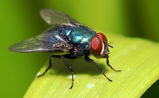 Flies carry more bacteria than first thought, warn scientists