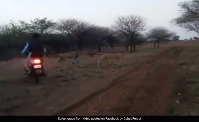 Bikers Chasing Lion, Lioness In Gujarat's Gir On Video, Three Arrested
