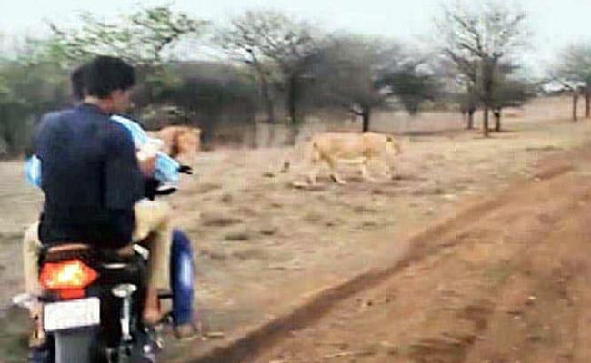 VIDEO: जब दो लोगों ने शेर और शेरनी के पीछे दौड़ाई बाइक, जानिए फिर क्या हुआ