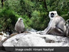 Blog: Adventurous Life Of Langurs In The Himalayas