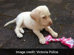 Thieves Stole Jewellery, iPad And Puppy. Returned Dog 3 Days Later
