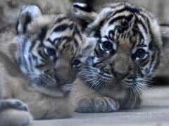 इंदौर के प्राणि संग्रहालय में बाघ के दो शावकों ने लिया जन्म