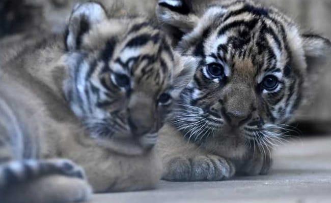 Rare Malayan Tiger Cubs Born At Prague Zoo. Pics Will Melt Your Heart