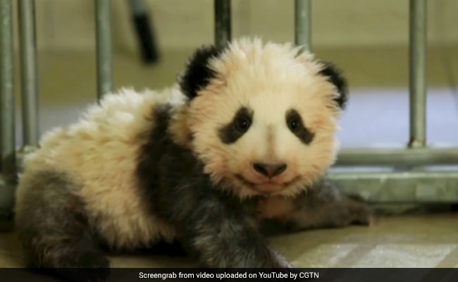 Watch: Giant Panda Cub Takes His First Steps. Cuteness Overload