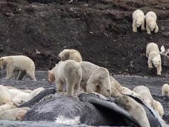 200 Polar Bears Crowd To Feast On Carcass Of Whale That Washed Ashore