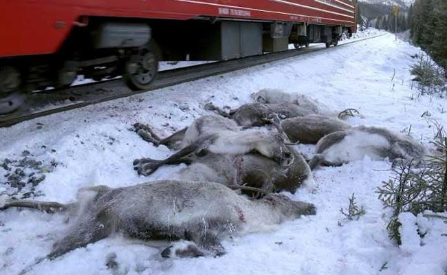 Christmas Horror: Trains Mow Down More Than 100 Reindeer