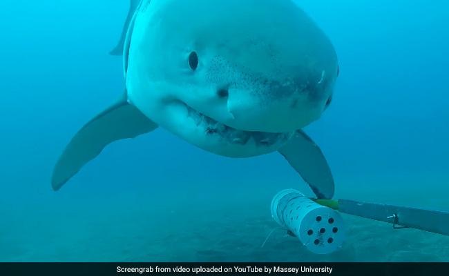 VIDEO: अंडर वाटर कैमरे के साथ 4 मीटर लंबी शार्क ने किया यह कारनामा, वीडियो देख खुली रह जाएंगी आंखें