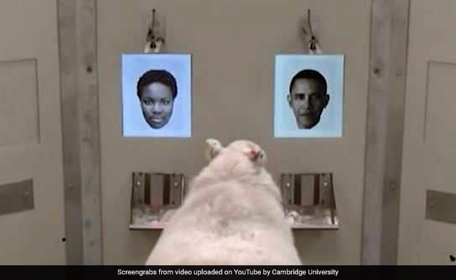 Sheep Able To Recognise Photos Of Barack Obama, Others: Neuroscientists