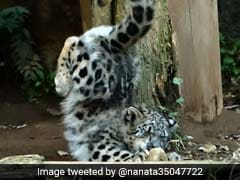 In Pics: Snow Leopard's First Jump Is A Big Fail, But It's Adorable Anyway