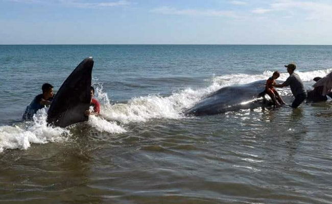 4 Whales Dies In Beach Rescue, Some With Mouths Agape