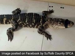 """4-Foot Alligator Found Inside Home. So Muscular, It Was Named """"Arnold"""""""