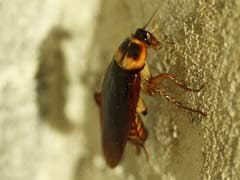 Chinese Couple Found Carrying 200 Live Cockroaches In Luggage