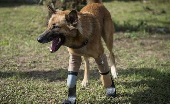'Blade Runner' Legs Give Dog New Lease Of Life