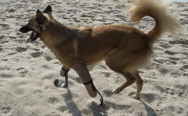 dog gets prosthetic legs 650 afp