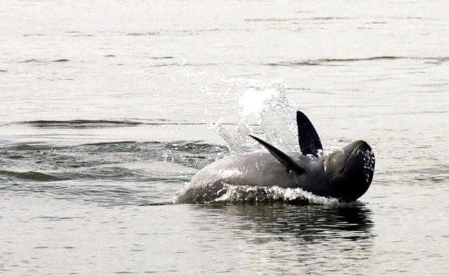 Asian Dolphins A Step Closer To Extinction, Say Scientists