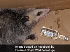 Lawless Opossum Breaks Into Liquor Store, Gets Drunk