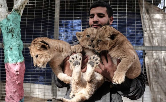 Unable To Feed, Zookeeper Puts Lion Cubs Up For Sale