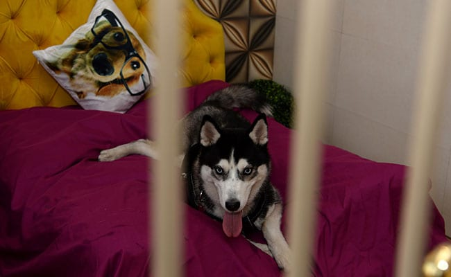 Velvet Beds, Spa, Belgian 'Beer' For Pampered Pooches At Gurgaon Pet Hotel