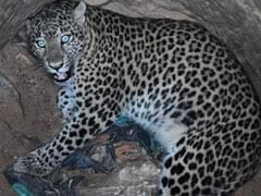 In Guwahati, Vet Climbed Down 30-Foot Dry Well To Rescue Trapped Leopard