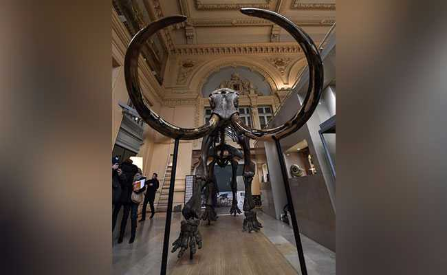 mammoth skeleton auctioned afp