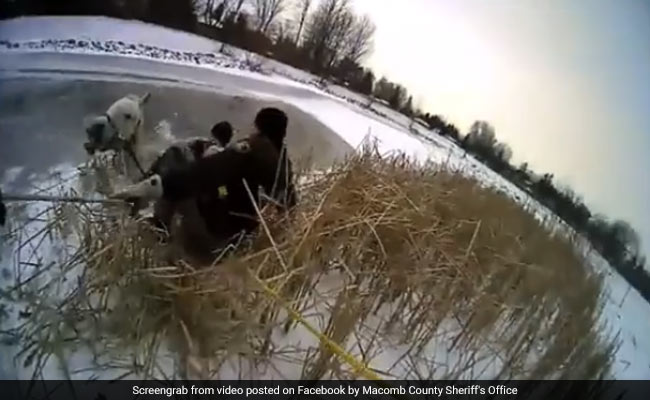 Horse Falls Into Icy Pond, So Does Cop During Rescue. Caught On Camera