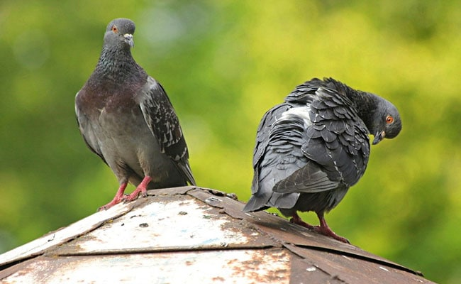 Pigeons Aren't Bird-Brained, Can Understand Concepts Of Space, Time: Study