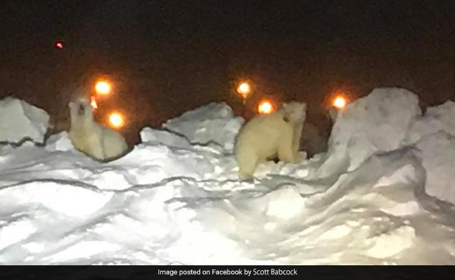 Watch: Two Polar Bears Chased Off Airport Runway In Alaska