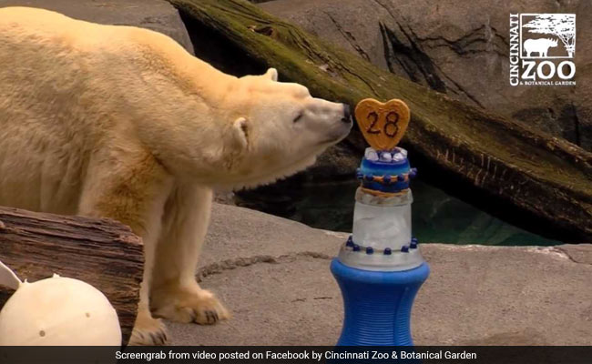 Oldest Polar Bear in Captivity Celebrates 37th Birthday
