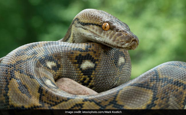 16-Feet-Long Python Rescued In Odisha's Kendrapara District