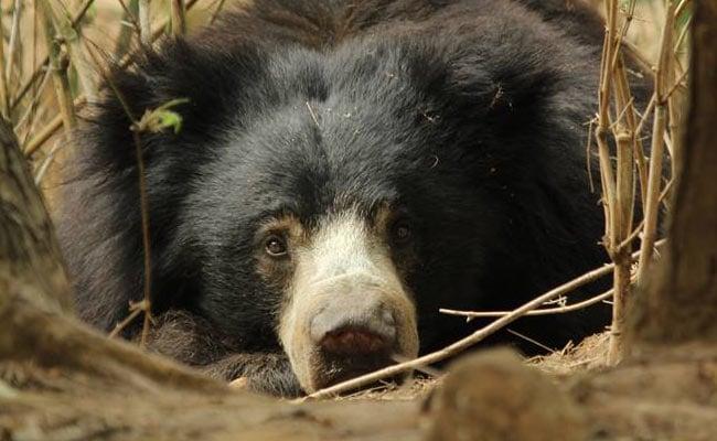 raju dancing bear