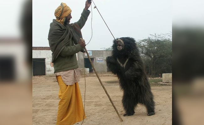 7 Years On, India's Last Liberated Dancing Bear Recovers