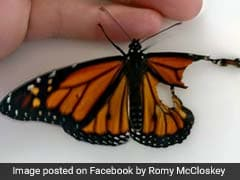 Woman Fixes Butterfly's Wings To Save His Life. See The Transformation