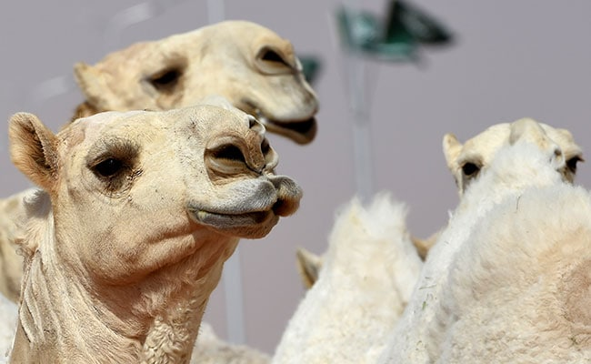 12 Camels Disqualified From Beauty Contest For Using Botox