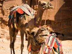 Camels Have Their Own Beauty Contest In Saudi Arabia And Some Were Beautified With Botox