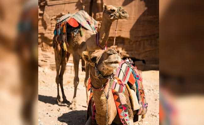 6 Camels, Rescued By Assam Cops, Wait At Police Stations To Return Home