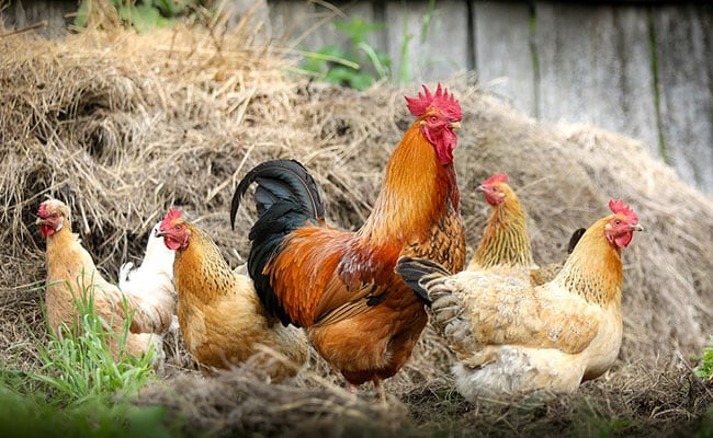 Boy, 6, Points Finger At 'Illegal' Poultry Farm, Green Court Issues Notice