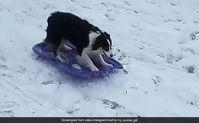 Clever Dog, Sledding All By Herself, Makes This The Cutest Video Ever