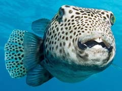 Japanese Grocer Accidentally Sold Five Packages Of Deadly Blowfish. Two Are Still Missing.