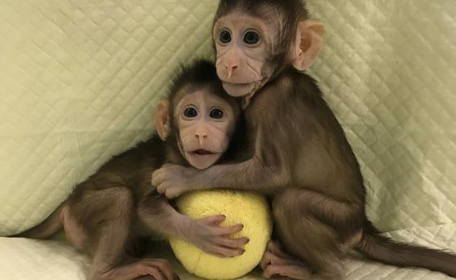 monkey clones