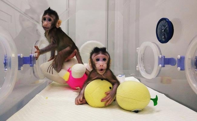Monkey Clones Latest Scientific Achievement, Human Copies Next In Line?