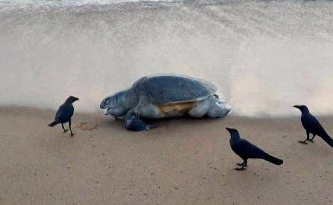 Over 100 Endangered Olive Ridley Turtles Found Dead Along Chennai Coast