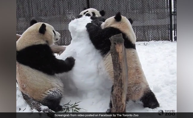 Three Giant Pandas Take On Snowman. Video Is Too Cute To Miss