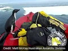 Antarctic Researchers Surprised By Excited Penguin. Watch Adorable Video