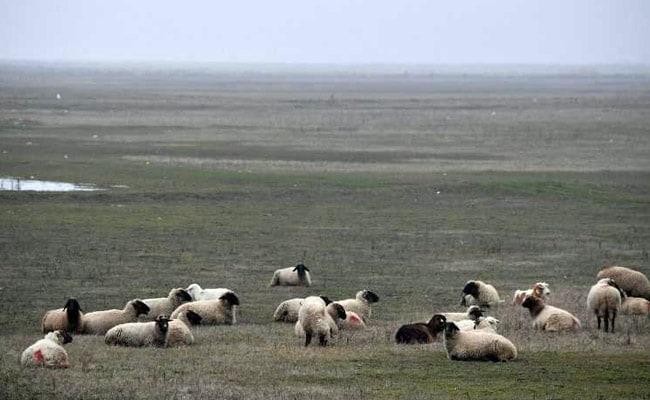 romania sheep afp