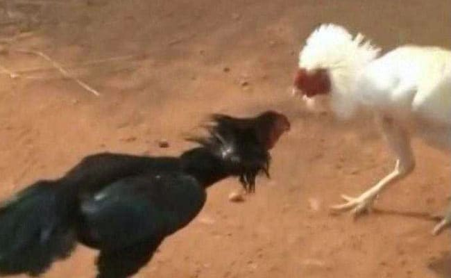 Rooster Fights Turn Bloody, Multi-Crore Gambling Continues Despite Court Orders