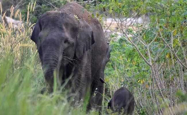 Critically Endangered Sumatran Elephant Gives Birth In Indonesia