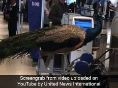 Passenger And Her Peacock Denied Boarding By United Airlines