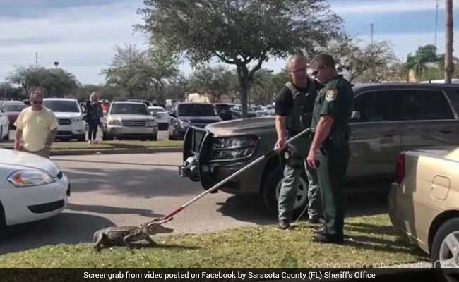 Watch: Cops Wrangle Agitated 4-Foot Alligator In Supermarket Parking Lot